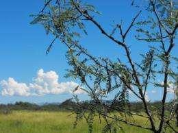 Mesquite trees displacing Southwestern grasslands