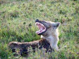 Microbes help hyenas communicate via scent