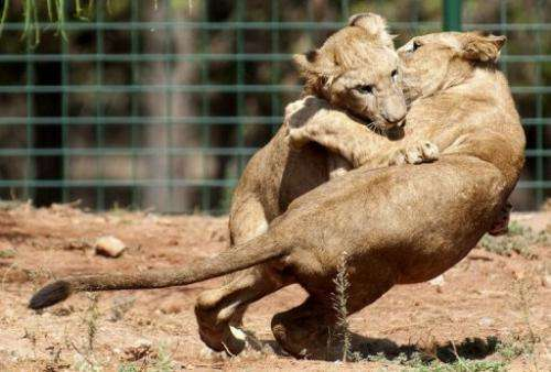 morocco's Rabat zoo is home to 32 Atlas lions, half the number of the almost extinct subspecies