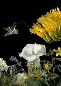 Moths wired two ways to take advantage of floral potluck