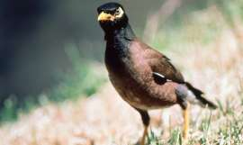 Myna 'guity of evicting Aussie birds'