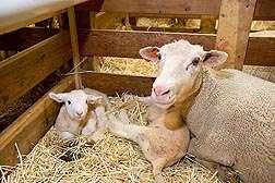 Natural selenium coproduct good for sheep