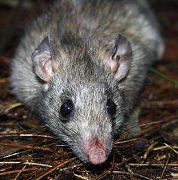 Odours of mass deception - how rats learn to ignore native birds