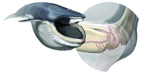 Newly discovered sensory organ in the chin of baleen whales allows them to be world's largest hunters