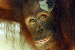Orangutans are faced with extinction from poaching and the rapid destruction of their forest habitat