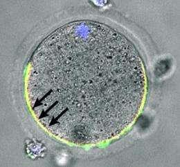 Ovastacin cuts off sperm binding