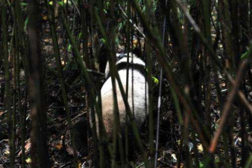 Pandas, which are only found in mountainous southwestern China, have a famously low reproductive rate