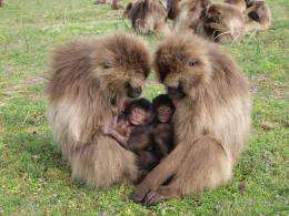 Pregnant gelada monkeys abort when new male enters group