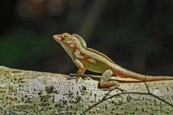 Rapid changes in climate don't slow some lizards