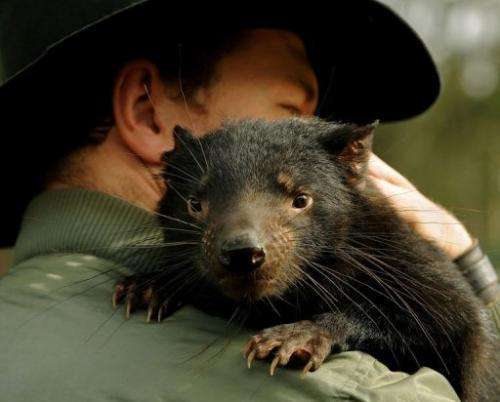 Rat-like in appearance with carnivorous jaws that can crack bone, Tasmanian devils are an enigmatic Australian species
