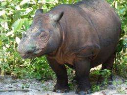 Ratu, a critically endangered Sumatran rhinoceros, gave birth to a male baby on Saturday at an Indonesian sanctuary