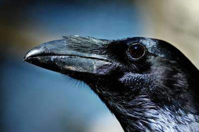 Ravens remember relationships they had with others