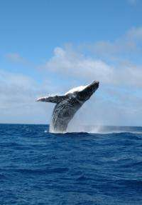 Researchers find Sydney whales unfazed by whale watching