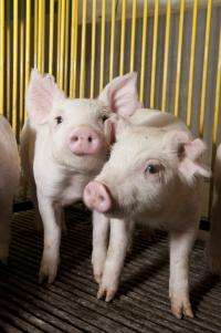 Research provides new insights into antibiotics and pig feeds