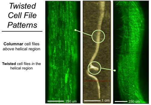 3-D time-lapse imaging captures twisted plant root mechanics for first time