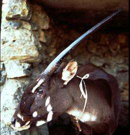 Saola still a mystery 20 years after its spectacular debut