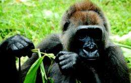 Satellite study reveals critical habitat and corridors for world's rarest gorilla
