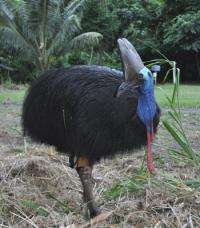 Satellite tagging cassowaries for more efficient management