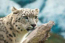 Saving the snow leopard with stem cells