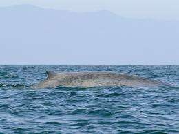 Scientists hope OSU whale-tracking data can reduce accidental deaths