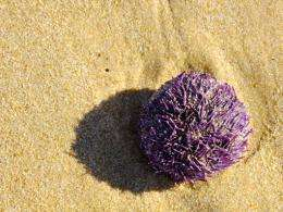 Sea urchins could contain the genetic key to curing some diseases