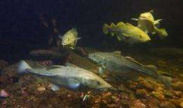Skrei, or migrating and spawning east-Arctic cod, are seen at the local aquarium in Norway's Arctic archipelago Lofoten