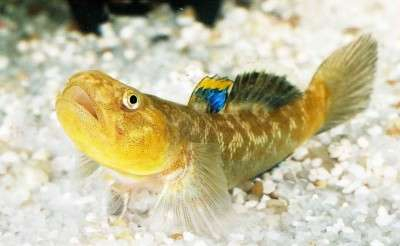 Small male fish use high aggression strategy