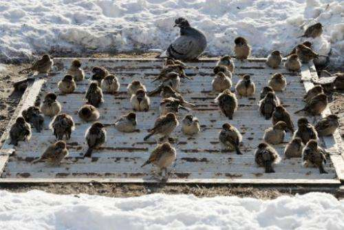 Sparrows warm themselves on a metro ventilation grille during heavy frost in Kiev