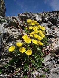 Species richness and genetic diversity do not go hand in hand in alpine plants