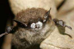 Study: Fungus behind bat die-off came from Europe (AP)