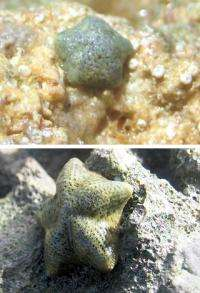 Superfast evolution in sea stars