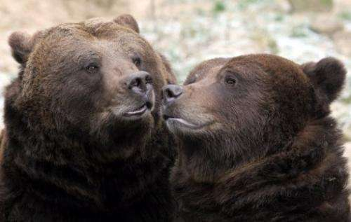 Swedish brown bears are pictured at an animal park in Guestrow, northeastern Germany