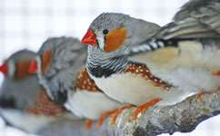 Telomere length in young zebra finches predicts lifespan