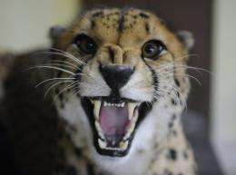 The African cheetah is the world's fastest land mammal and can reach speeds of 96 kph (60 mph) in just three seconds