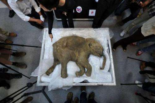 The carcass of the world's most well-preserved baby mammoth, named Lyuba