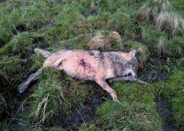 The dead animal laying on the forest floor near Gensingen, western Germany