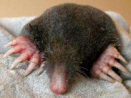 The difference between a mole and shrew is in their SOX