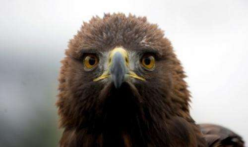 The golden eagle is the largest bird of prey in North America