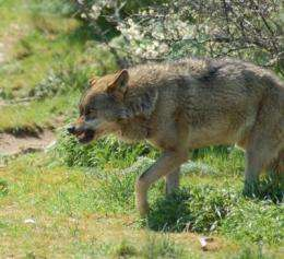 The Iberian wolf lives close to humans more for refuge than for prey
