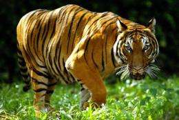 The Indochinese tiger is close to critically endangered status