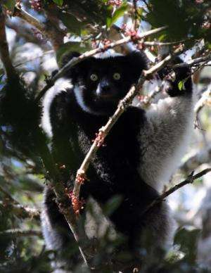 The lemur is under pressure from destruction of forests, illegal wildlife trade and bushmeat hunting