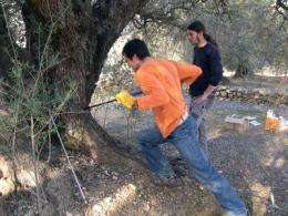 The millennium-old olive trees of the Iberian Peninsula are younger than expected
