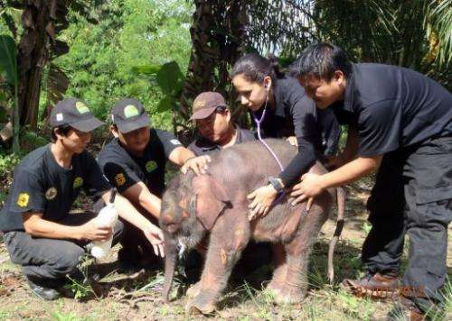 There are fewer than 2,000 Borneo pygmy elephants left in the wild