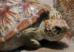 The success on Baguan is so important because green turtles can live up to 100 years