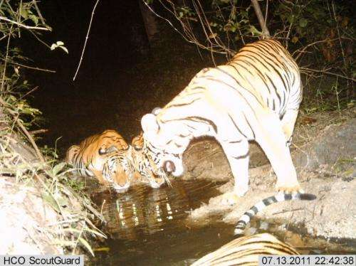 Tigers roar back: Good news for big cats in 3 key landscapes
