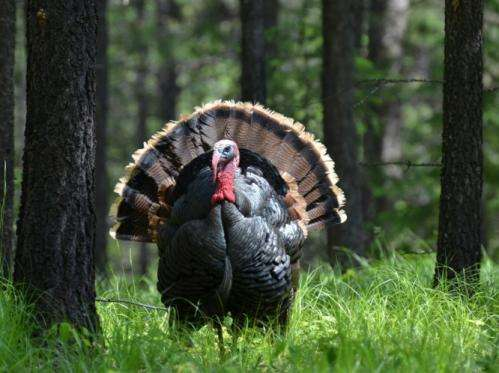 Today's domestic turkeys are genetically distinct from wild ancestors, researchers find