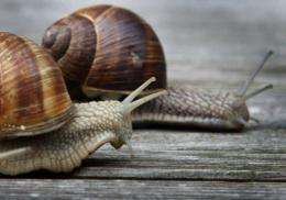 Two snails cross a wooden veranda in Oberbeuren, southern Germany