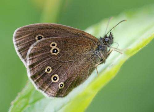 UK butterfly populations threatened by extreme drought and landscape fragmentation