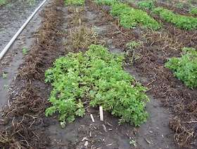 UW scientists probe, attack late blight in potatoes