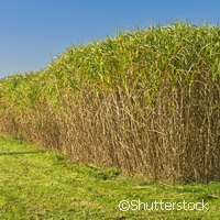 WATBIO project puts drought-tolerant crops in the spotlight